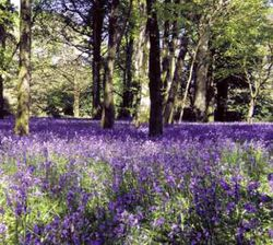 Bluebells in the woods at Burncoose