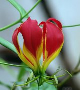 Caring for Gloriosa