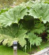 Gunnera Care & Advice