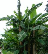 Banana Tree Care & Advice