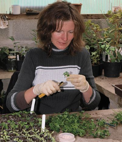 Asha working with cuttings.