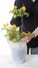 2. Bagging of plant