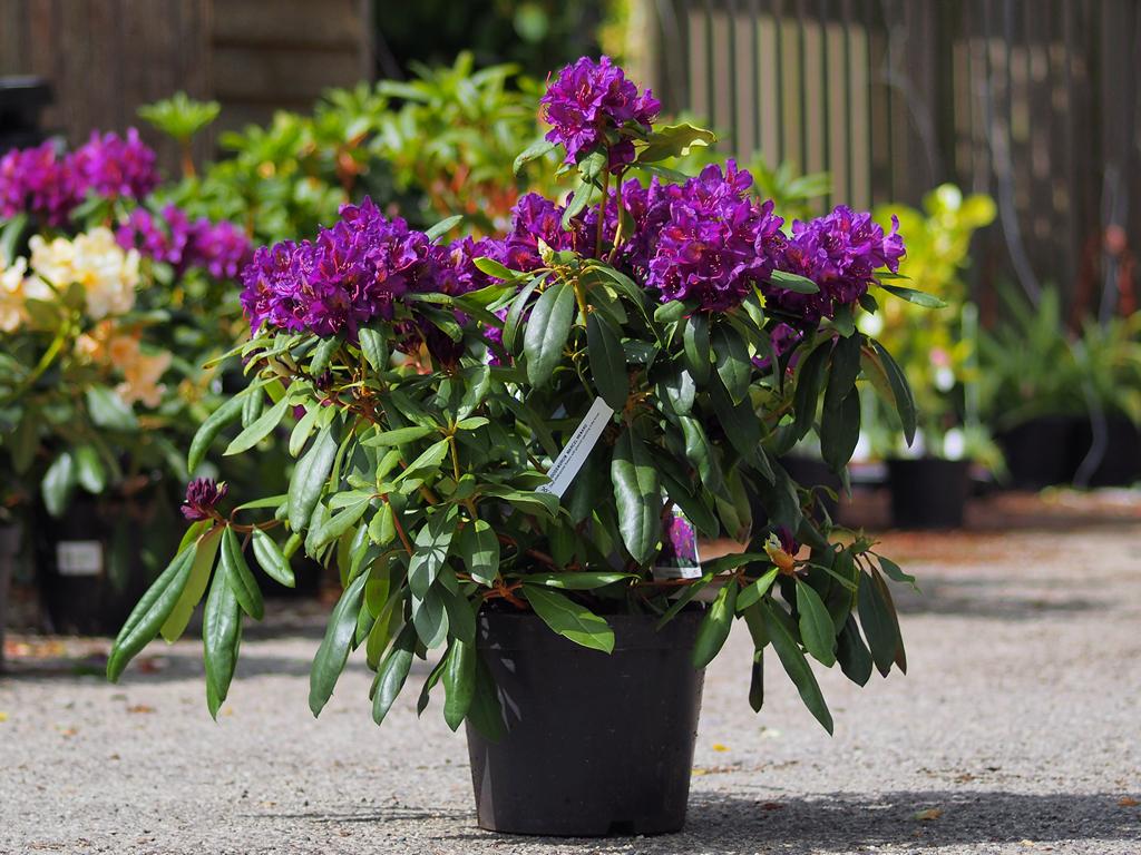 rhododendron 39 marcel menard 39 from burncoose nurseries. Black Bedroom Furniture Sets. Home Design Ideas
