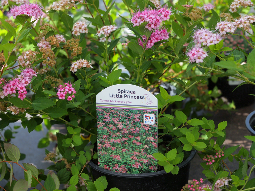 Spiraea japonica 39 little princess 39 from burncoose nurseries for Small princess
