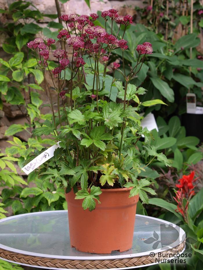 astrantia carniolica  u0026 39 rubra u0026 39  from burncoose nurseries