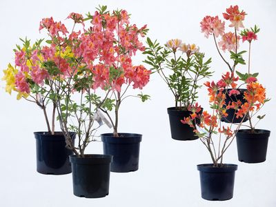 Small and Large size Azaleas