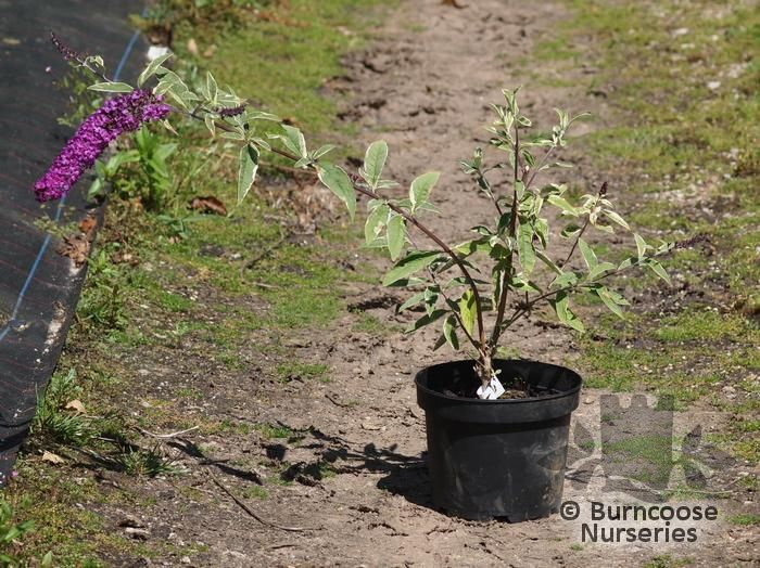 buddleja davidii harlequin from burncoose nurseries
