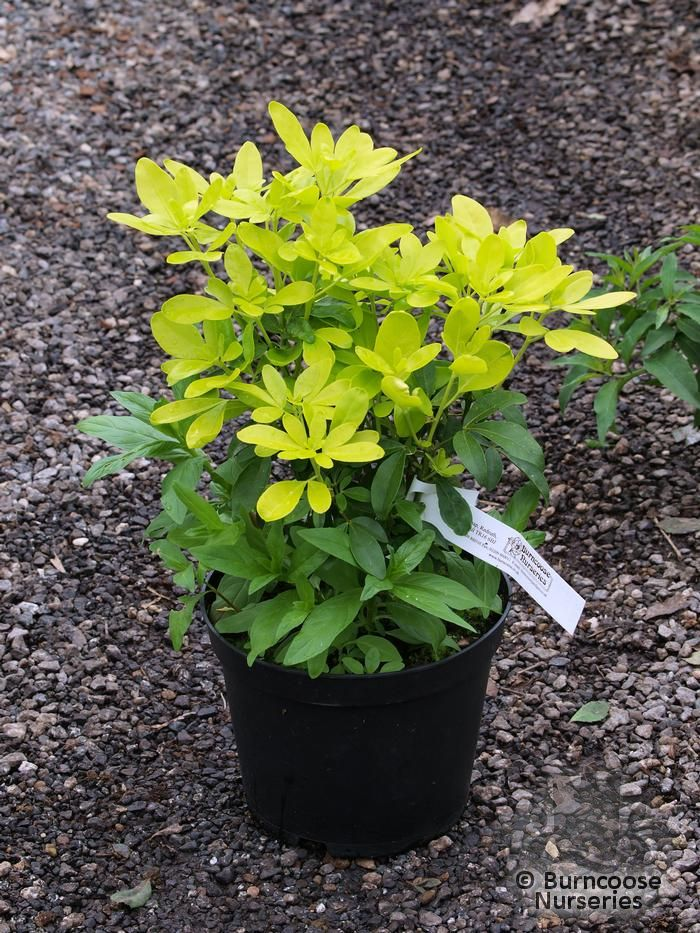 Garden Bush: Choisya Ternata From Burncoose Nurseries