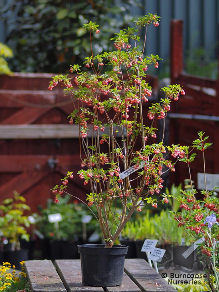Enkianthus Campanulatus Pagoda From Burncoose Nurseries