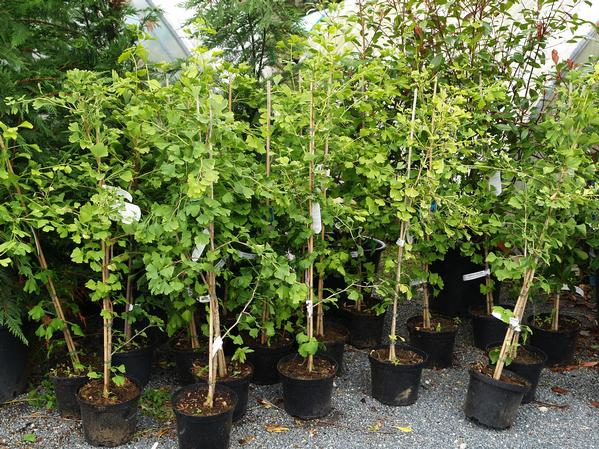 Buy GINKGO biloba. Pot size: 2.5 or 3 Litre. Small £17.50 each
