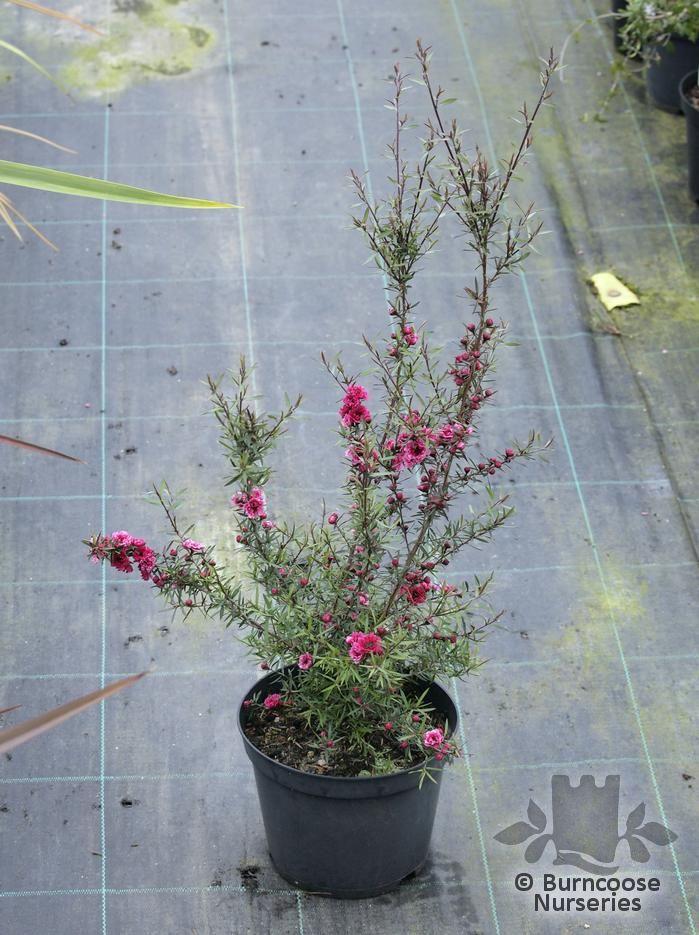 Leptospermum Scoparium  U0026 39 Red Damask U0026 39  From Burncoose Nurseries