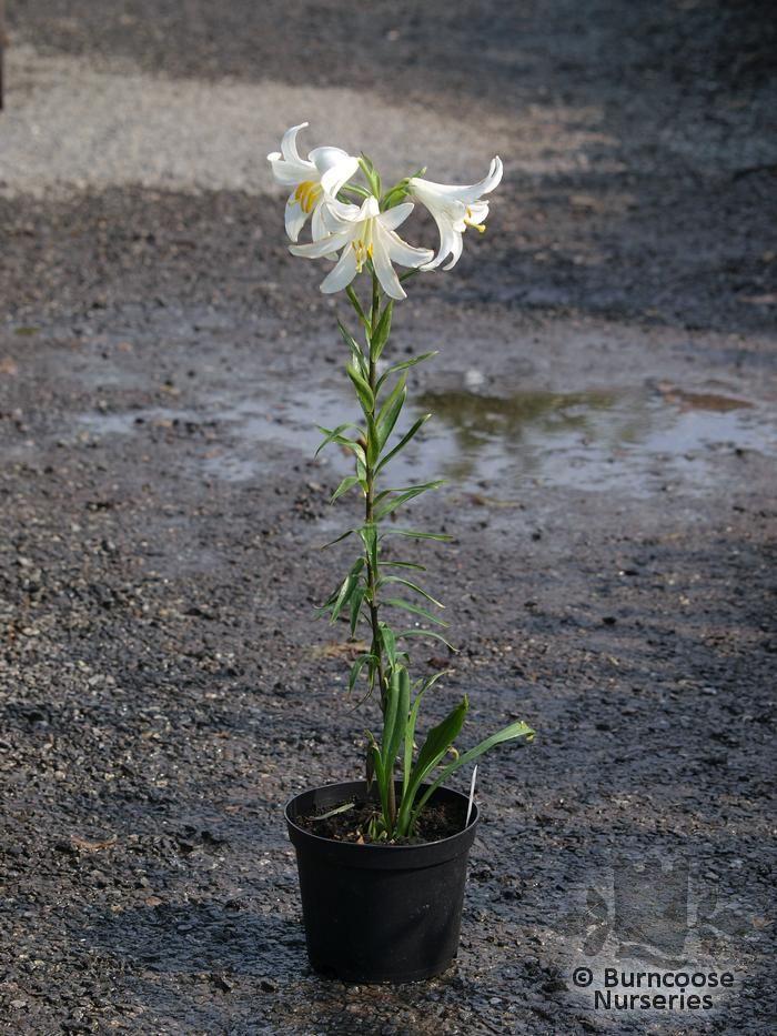 Lilium Candidum From Burncoose Nurseries