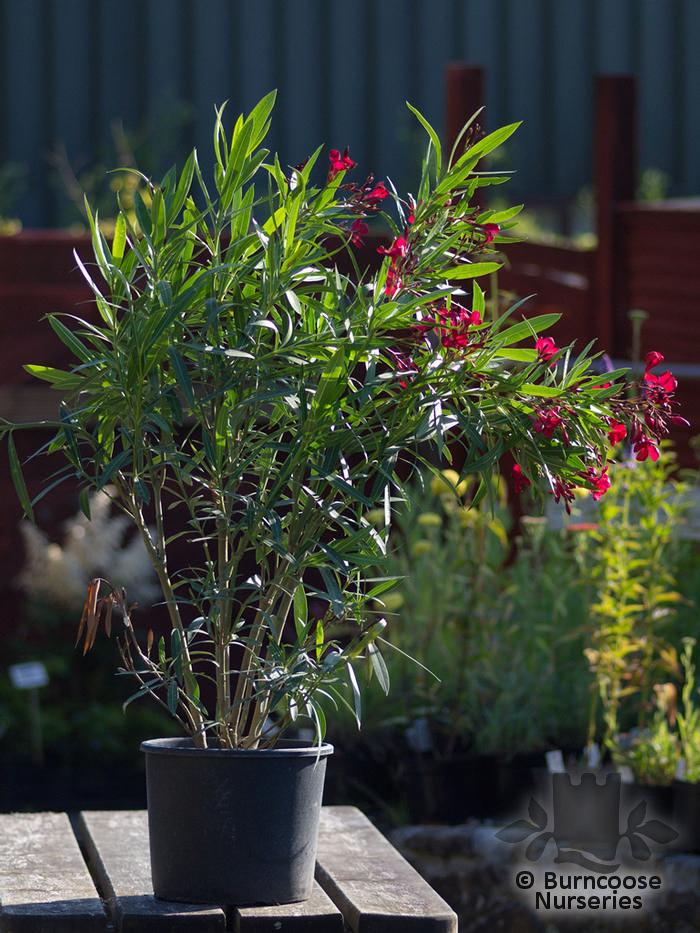 buy nerium oleander red plants from burncoose nurseries. Black Bedroom Furniture Sets. Home Design Ideas