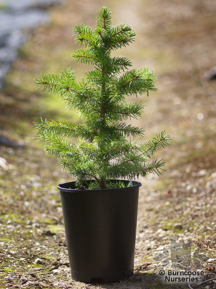 picea pungens 39 glauca 39 from burncoose nurseries. Black Bedroom Furniture Sets. Home Design Ideas