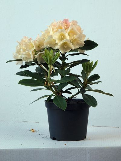 buy rhododendron 39 golden torch 39 plants from burncoose. Black Bedroom Furniture Sets. Home Design Ideas