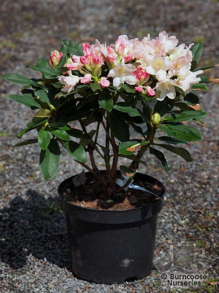 rhododendron 39 golden torch 39 from burncoose nurseries. Black Bedroom Furniture Sets. Home Design Ideas
