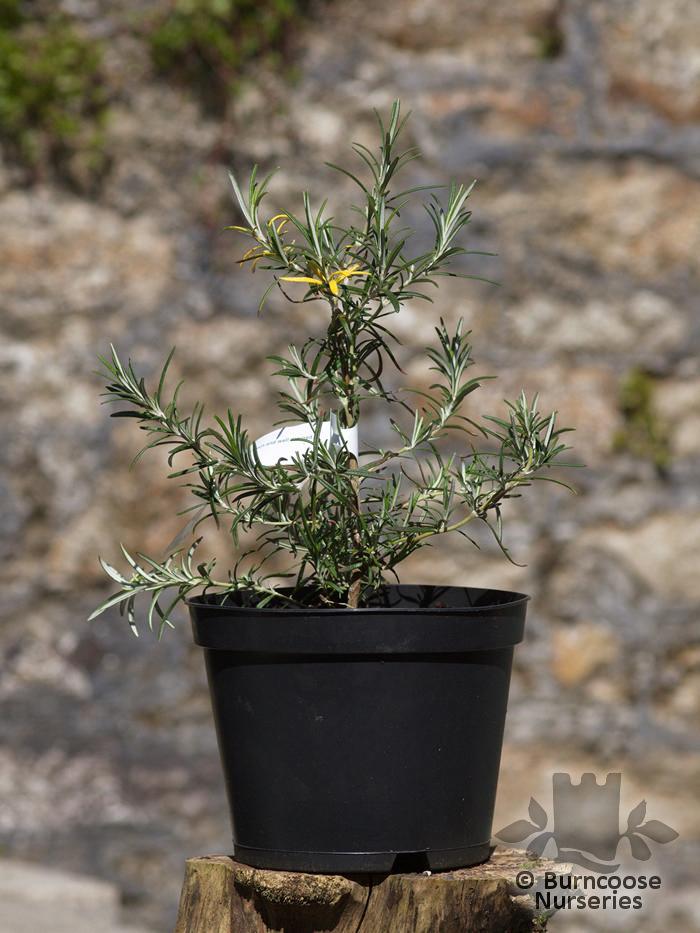 Buy Rosmarinus Officinalis 'Aureus' plants from Burncoose Nurseries