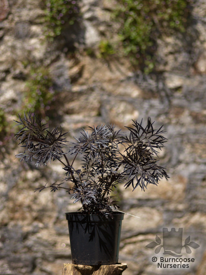 sambucus nigra 39 black lace 39 from burncoose nurseries. Black Bedroom Furniture Sets. Home Design Ideas