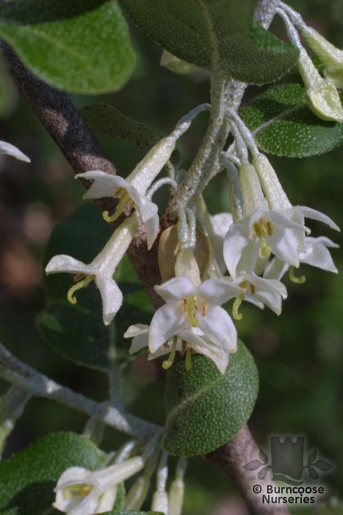 elaeagnus from burncoose nurseries