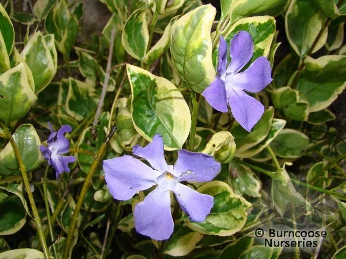 Vinca major from burncoose nurseries for Vinca major