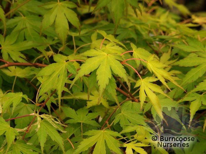 acer palmatum 39 katsura 39 from burncoose nurseries. Black Bedroom Furniture Sets. Home Design Ideas