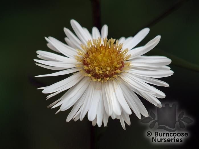 ASTER 'White Ladies'