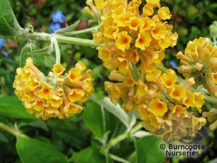 Orange Butterfly Bush, Butterfly Bush