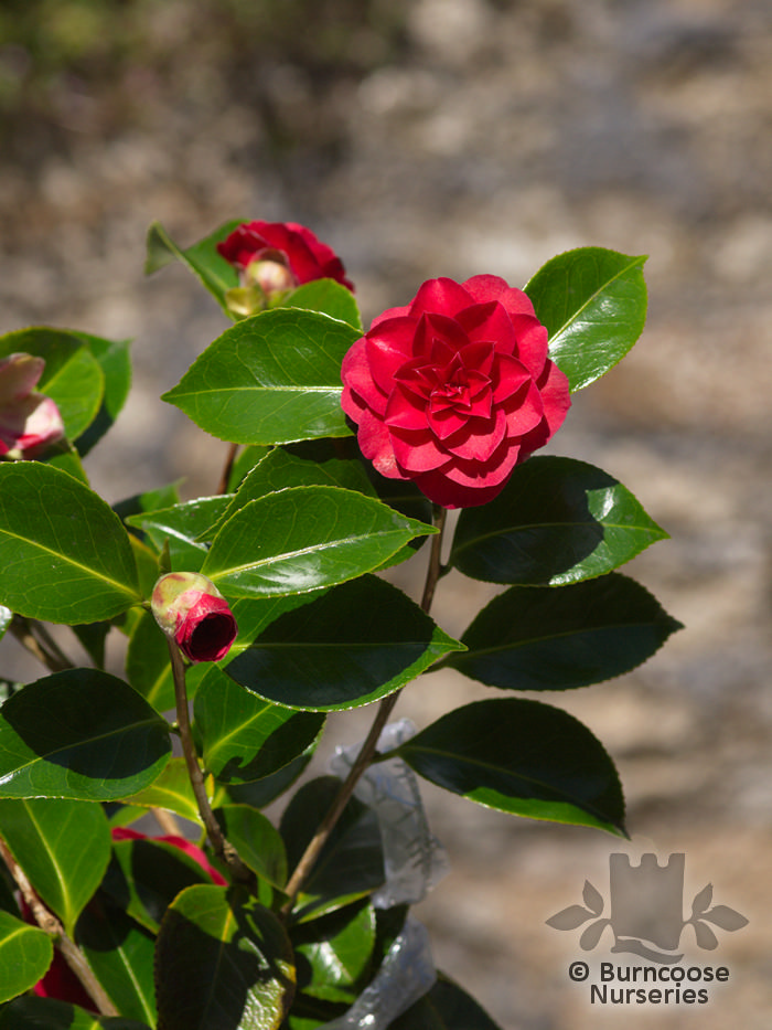 Camellia 'Black Lace' from Burncoose Nurseries