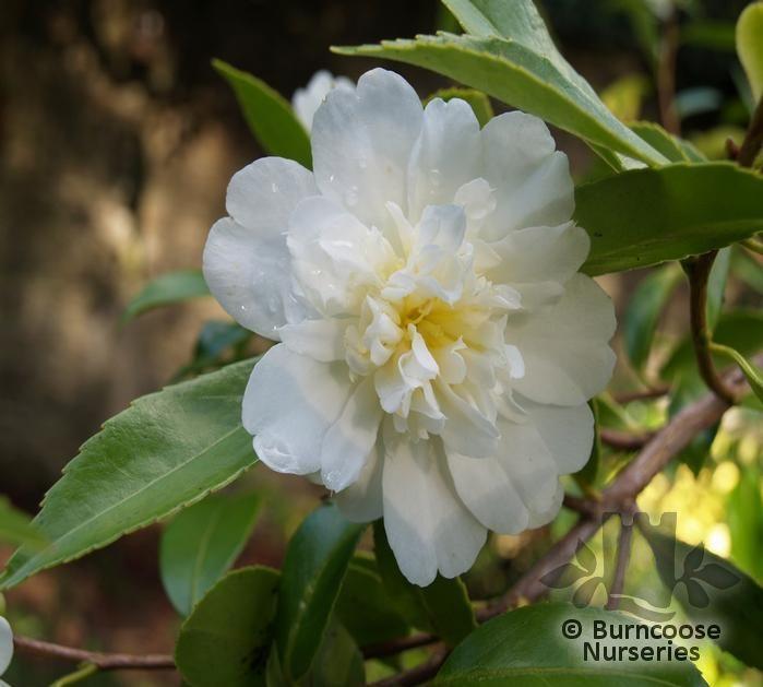 Snow on The Mountain Camellia Camellia 39 Snow Flurry 39 gt