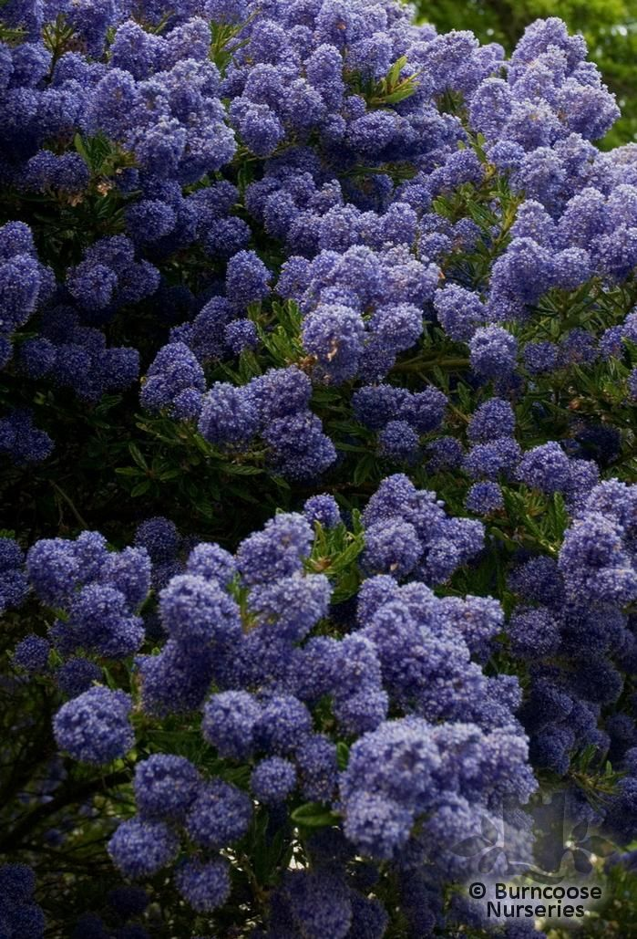 ceanothus from burncoose nurseries. Black Bedroom Furniture Sets. Home Design Ideas