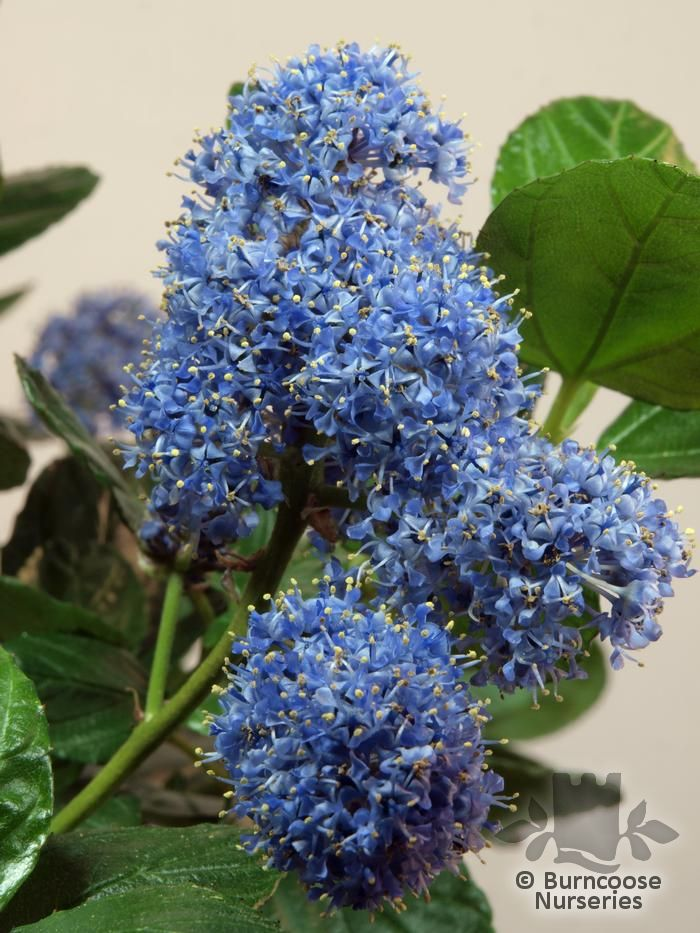 ceanothus griseus 39 yankee point 39 from burncoose nurseries. Black Bedroom Furniture Sets. Home Design Ideas