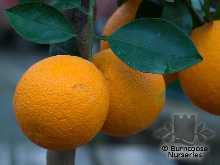 buy citrus 39 mitis 39 plants from burncoose nurseries. Black Bedroom Furniture Sets. Home Design Ideas