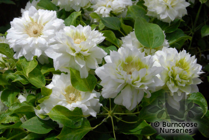 clematis 39 duchess of edinburgh 39 from burncoose nurseries. Black Bedroom Furniture Sets. Home Design Ideas