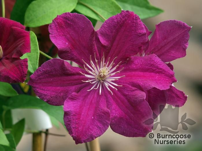 clematis from burncoose nurseries page 2. Black Bedroom Furniture Sets. Home Design Ideas