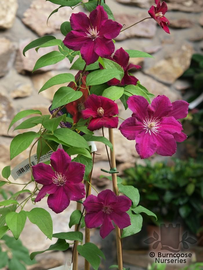 clematis 39 ernest markham 39 from burncoose nurseries large flowered summer varieties. Black Bedroom Furniture Sets. Home Design Ideas