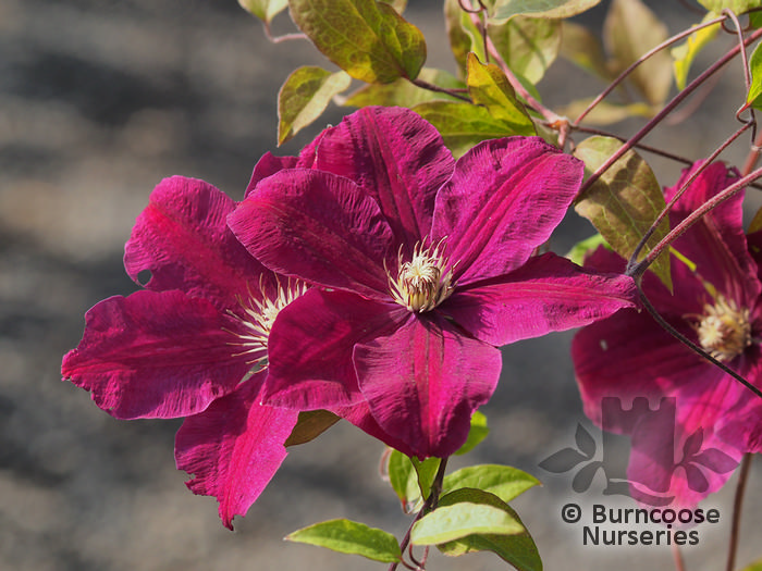 clematis 39 rouge cardinal 39 from burncoose nurseries large flowered summer varieties. Black Bedroom Furniture Sets. Home Design Ideas