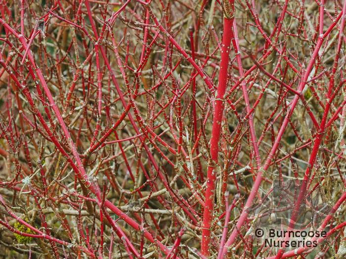 cornus alba from burncoose nurseries coloured stemmed dogwoods. Black Bedroom Furniture Sets. Home Design Ideas