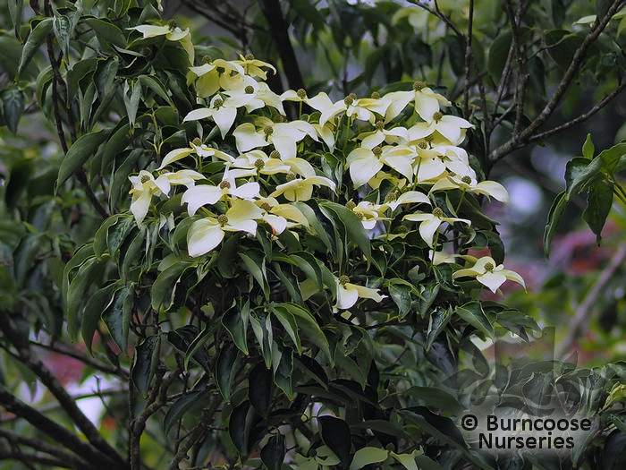 cornus kousa var chinensis 39 milky way 39 from burncoose. Black Bedroom Furniture Sets. Home Design Ideas
