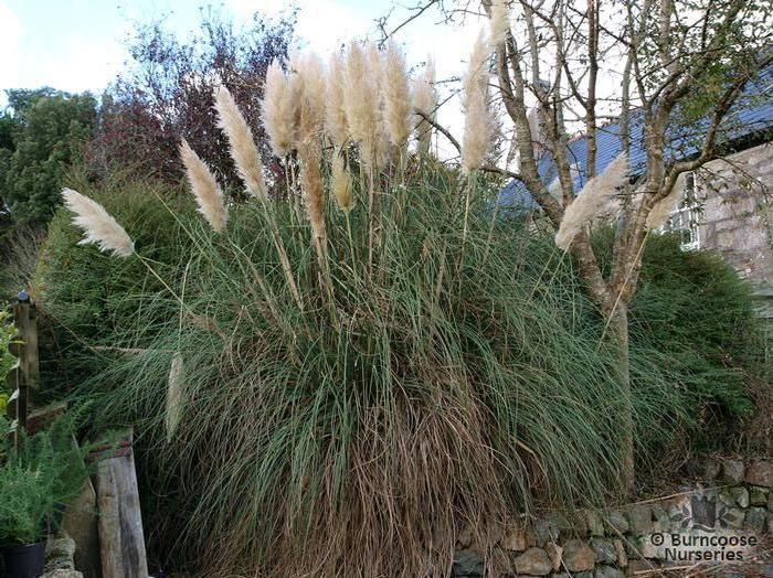 cortaderia selloana from burncoose nurseries. Black Bedroom Furniture Sets. Home Design Ideas