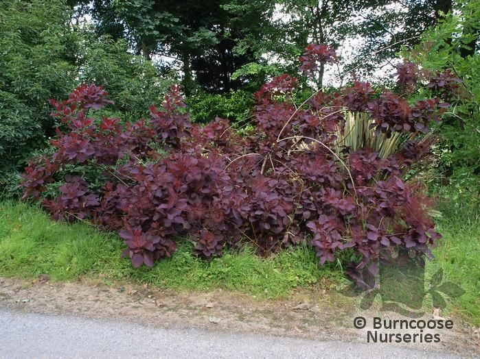 Cotinus From Burncoose Nurseries