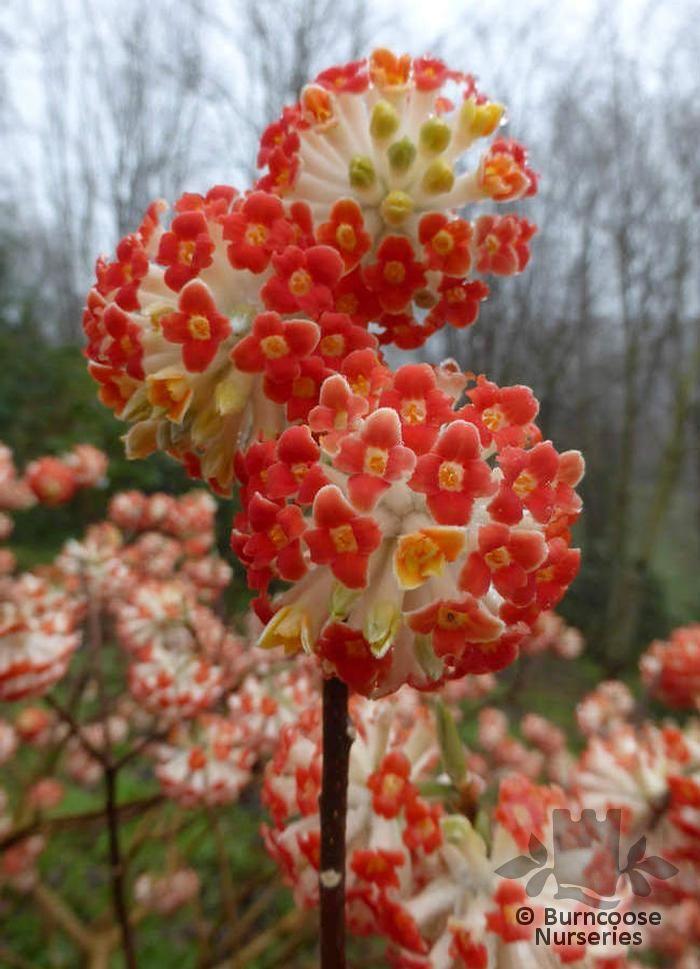 Edgeworthia Chrysantha Red Dragon From Burncoose Nurseries