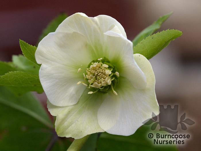 HELLEBORUS orientalis 'White Lady'