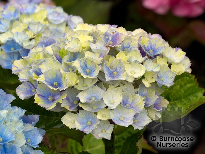 Buy Hydrangea Glam Rock Plants From Burncoose Nurseries