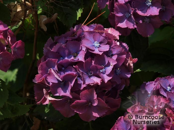 hydrangea from burncoose nurseries page 1. Black Bedroom Furniture Sets. Home Design Ideas