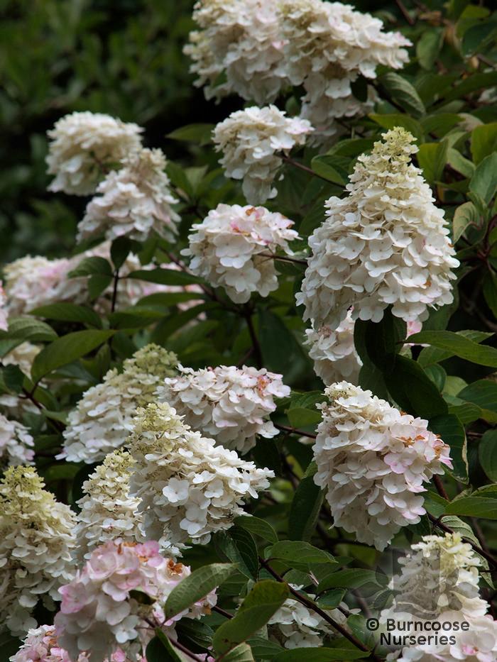 hydrangea paniculata 39 grandiflora 39 from burncoose nurseries. Black Bedroom Furniture Sets. Home Design Ideas