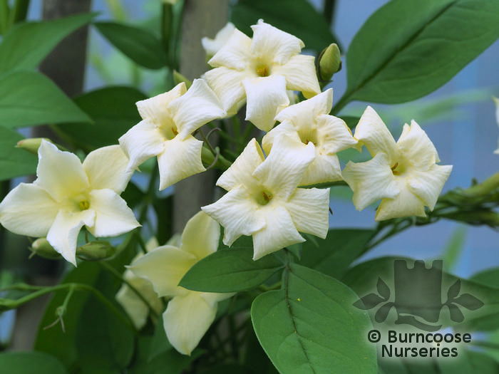Jasmine 'Clotted Cream'