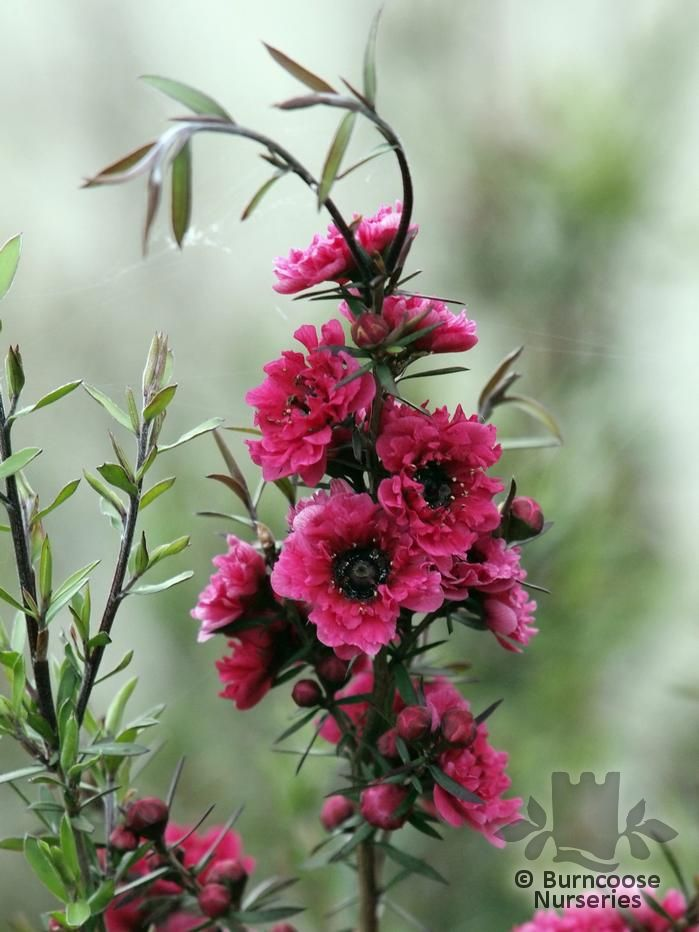 Garden Bush: Leptospermum Scoparium 'Red Damask' From Burncoose Nurseries