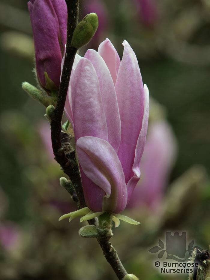 magnolia 39 george henry kern 39 from burncoose nurseries. Black Bedroom Furniture Sets. Home Design Ideas