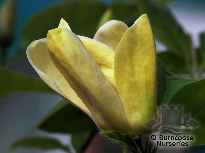 MAGNOLIA x brooklynensis 'Yellow Bird'