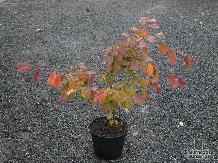 Parrotia Persica from Burncoose Nurseries